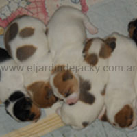 Crianza Profesional Jack Russell Terrier